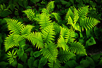 Fresh spring ferns on the forest floor, Vermont, USA