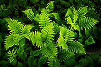 Fresh spring ferns on the forest floor, Vermont, USA