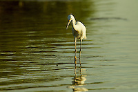 A Snowy Egret (Egretta thula) in the mudflats of the Orinoco River Delta, Venezuela.