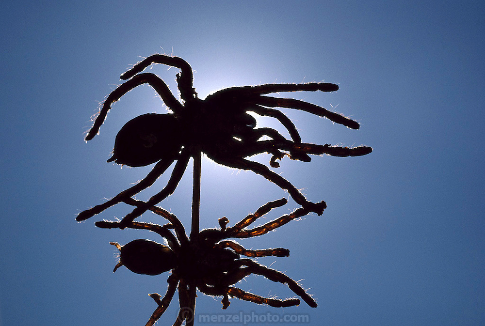 A silhouette of skewered deep-fried tarantulas, sold roadside in Kampong Cham province, Cambodia. (Man Eating Bugs: The Art and Science of Eating Insects)