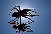 A silhouette of skewered deep-fried tarantulas, sold roadside in Kampong Cham province, Cambodia. (Man Eating Bugs: The Art and Science of Eating Insects pages 8,9. See also page 48)