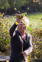 Carol Klein showing enormous dandelion tap root. Taraxacum officinale