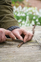 Taking Crambe cordifolia root cuttings. Cutting root into sections