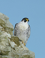Peregrine Falco peregrinus W 95-115cm. One of our most impressive raptors. Soars on broad, bowed wings but stoops with wings swept back at phenomenal speed on prey such as pigeons. Sexes are similar but male is smaller than female. Adult has dark blue-grey upperparts and pale, barred underparts. Note dark mask on face and powerful, yellow legs and feet. In flight from above, looks uniformly dark grey although rump may appear paler; from below, pale underparts are barred and contrast between pale cheeks and throat, and dark moustache, is striking. Juvenile is similar to adult but upperparts are brownish while paler underparts are suffused with buffish orange. Voice Utters a loud kek-kek-kek… in alarm. Status Widespread resident in N and W Britain and Ireland. Population is recovering following crash caused by pesticide contamination in 1960s. Favours mountains and coastal cliffs but increasingly nests in towns and cities.
