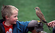 Kestrelm, Falco tinnunculus, little boy holding the bird, falconry.