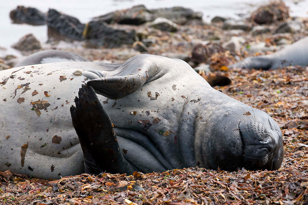 Flippers poised as if in prayer, a female southern elephant seal sleeps in the morning sun on a beach in the Falkland Islands