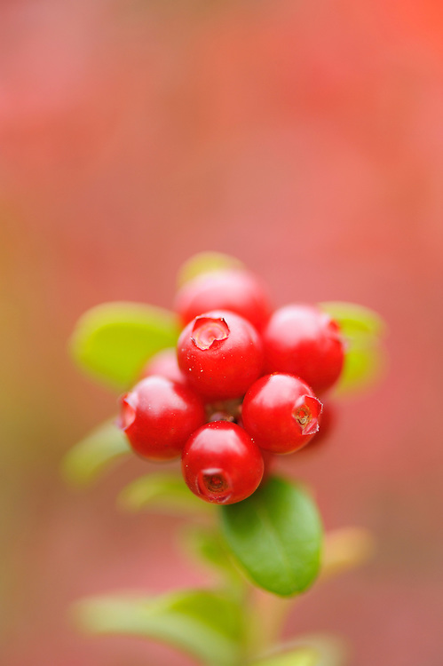 Cowberry, Vaccinium vitis-idaea L.in Oulanka, Finland.