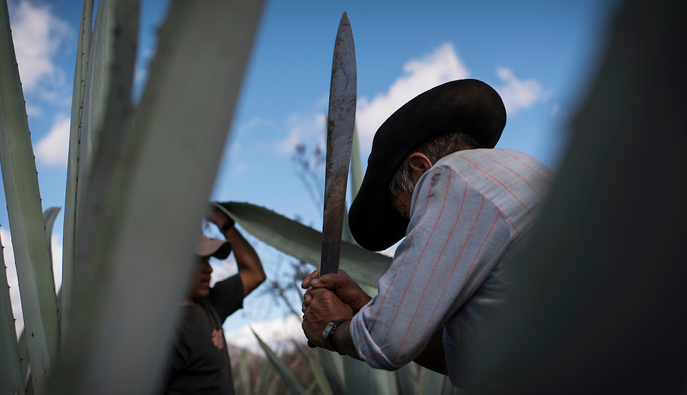 Pascual Garcia Martinez swings a machete toward a leaf while harvesting maguey piñas outside of Santa Ana. The piñas will be cooked and turned into mezcal. For first timers, the taste of mezcal can be flooring, but with time, the smoky flavor can be appreciated. However, a recent jump in prices of mezcal has put a damper on the flow of the drink, and it's due to a much larger problem.