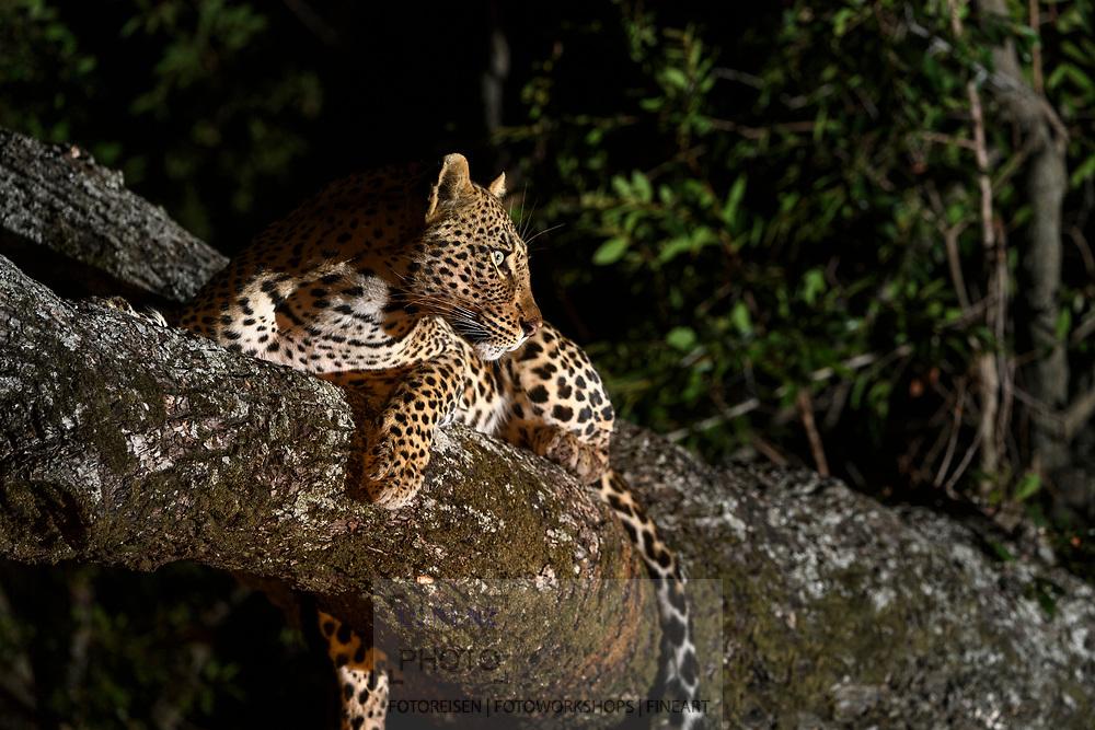 Leopard (Panthera pardus) im Schutzgebiet Sabi Sands, Südafrika<br /> <br /> Leopard (Panthera pardus) in the private game reserve Sabi Sands, South Africa