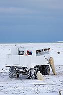 01874-11213 Polar bears (Ursus maritimus) near Tundra Buggy, Churchill, MB