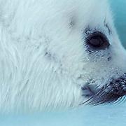 Harp Seal, (Pagophilus groenlandicus) Portrait of white coat pup. Spring. Nova Scotia. Canada.