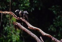 Bushy-crested Hornbills (Anorrhinus galeritus) perch together on a dead branch.  Gunung Palung National Park, Borneo, Indonesia