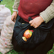 A Romanian peasant farmer collects apples in her apron from the orchard at her smallholding in the village of Valeni, Maramures, Romania. The majority of apples are used for distilling horinca, the local alcoholic drink.
