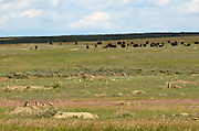 Black-tailed prairie dog town and a herd of bison on the Great Plains of Montana at American Prairie Reserve. South of Malta in Phillips County, Montana.