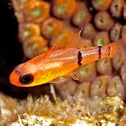 Caribbean Cardinalfishes