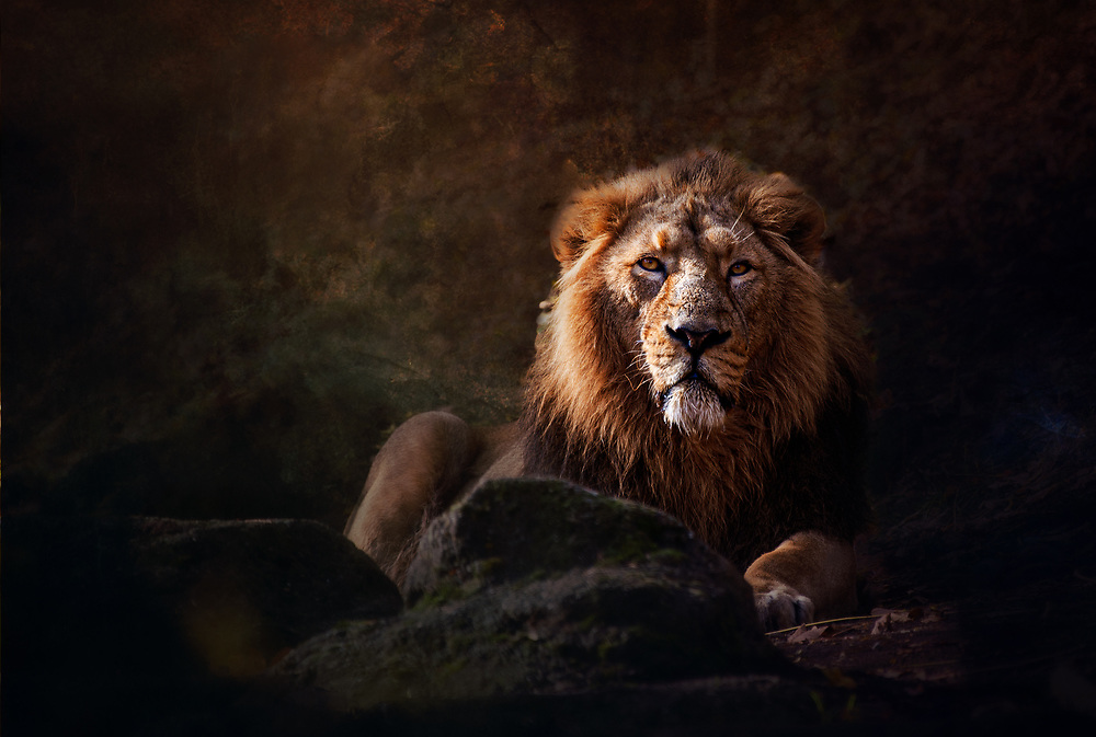 Lion in the Zürich zoo