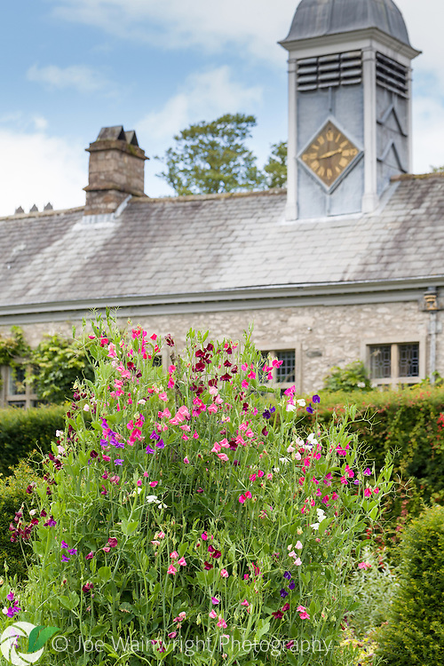 Sweet peas add colour and fragrance to the gardens at Levens Hall, Cumbria, photographed in August.