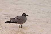 A lava gull (larus fuliginosis), an endemic species of the Galapagos Islands with fewer than 400 pairs of adults. It is found nowhere else. Genovesa Island, Galapagos Archipelago - Ecuador.