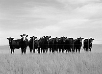 Herd of cattle outside of Last Chance, Colorado.  I thought the one with the white face was cool.