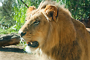 Close-up of male lion at San diego wild Animal Park
