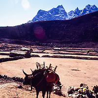A yak carries loads for trekkers in the Gokyo Valley in the Khumbu region of Nepal. 1980