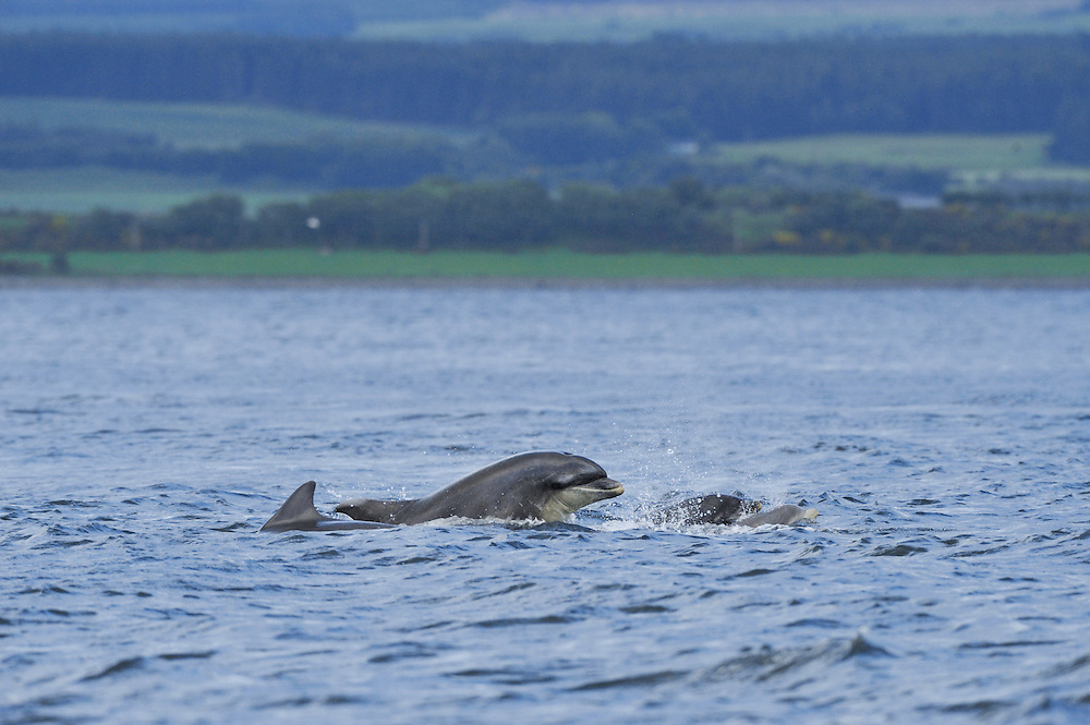 Female Bottle-nosed Dolphin playing with calf,<br /> Tursiops truncatus,<br /> Moray Firth, Nr Inverness, Scotland - June