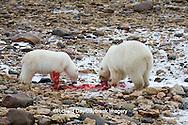 01874-12913 Two Polar bears (Ursus maritimus) eating Ringed Seal (Phoca hispida)  in winter, Churchill Wildlife Management Area, Churchill, MB Canada