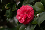 Camellia japonica 'Nitida' a deep red Camellia with pointed petals in the conervatory at Chiswick House, Chiswick, London, UK