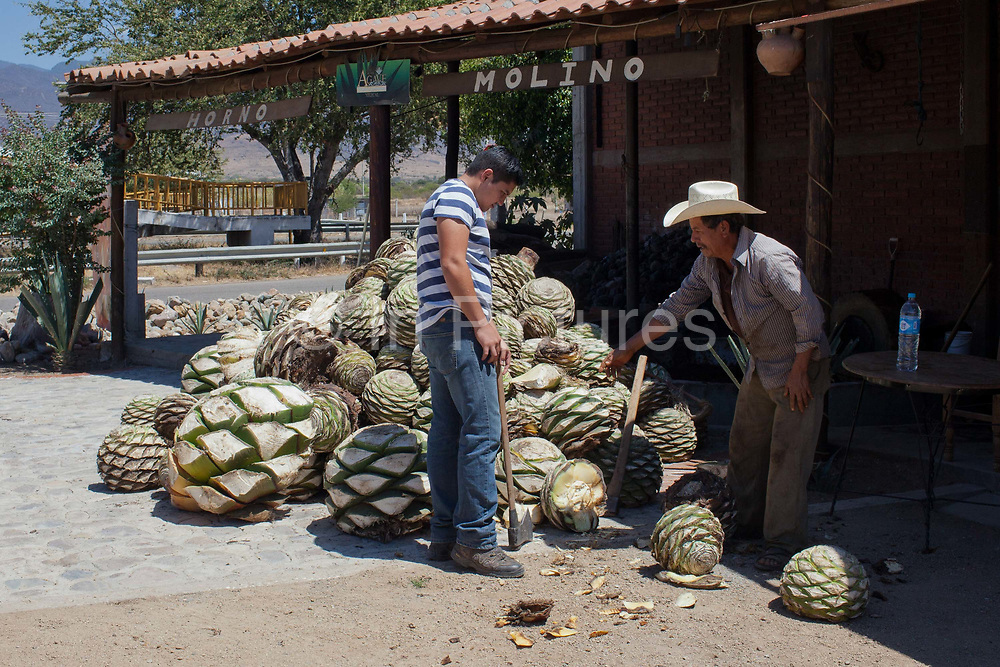 Two men processing agave catcus. When the agave is harvested, it is cut into pineapples before being crushed for fermentation. Oaxaca in southern Mexico is known for being the main producer of Mescal, the drink of which Tequila is a type. The Mescal route around the area of Mitla has dozens of artisan distilleries which can be visited to take part in Mescal tasting sessions and to see how they cut the agave cactus and make the drink in the traditional way.