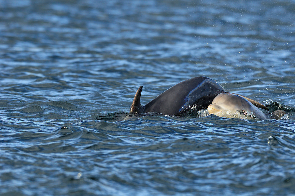 Female Bottle-nosed Dolphin with calf surfacing,<br /> Tursiops truncatus,<br /> Moray Firth, Nr Inverness, Scotland - July