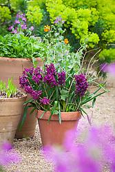 Hyacinthus orientalis 'Woodstock' with Geum 'Prinses Juliana' in a terracotta pot in the oast garden