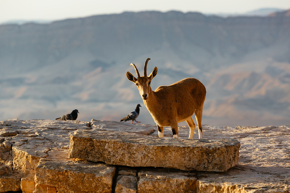 Female Nubian Ibex and pigeons are seen near the edge of the Ramon Crater (Makhtesh Ramon in Hebrew), the world's largest erosion crater in the Negev desert, southern Israel, on October 19, 2017.
