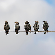 Starlings on a wires.