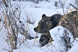 Grizzly Bear #399 in deep snow, Grand Teton National Park, Jackson Hole, Wyoming<br /> <br /> Contact for custom print options or inquiries about stock usage  - dh@theholepicture.com