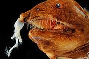 Illuminated Netdevil (LInophyne arboritera), female anglerfish, Picture was taken in cooperation with the Zoological Museum University of Hamburg | Teufelsangler (LInophyne arboritera), weiblicher  Tiefsee-Anglerfisch, Das Bild entstand in Zusammenarbeit mit dem Zoologischen Museum Hamburg (ZMH); ZMH 109472 (ISH 2736-1971); 16.04.1971; 23°12'W,14°5'N; Trawl survey Walther Herwig, 494/71, MT 1600; 1900 m; det. Bertelsen