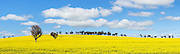 trees in a field of flowering canola crop under blue sky and cumulus cloud at Woodstock, New South Wales, Australia. <br />