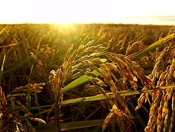 Lavoura de arroz em Cerro Largo, Uruguai./..Rice crop in Cerro Largo,Uruguay