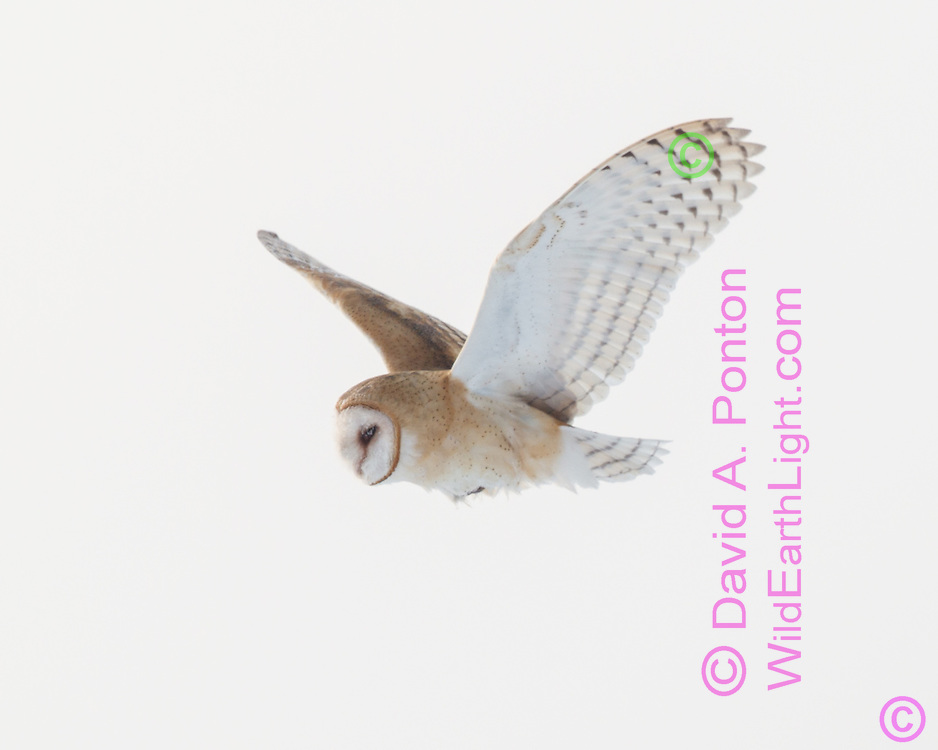 Barn owl hunting during the day in rare winter conditions when prey is inactive at night, active under snow during the day. Frost is visible on the owl's face from extreme cold. © David A. Ponton