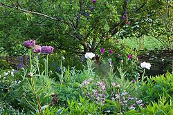 Oriental poppies in Annie's garden at Glebe Cottage including Papaver orientale 'Patty's Plum'