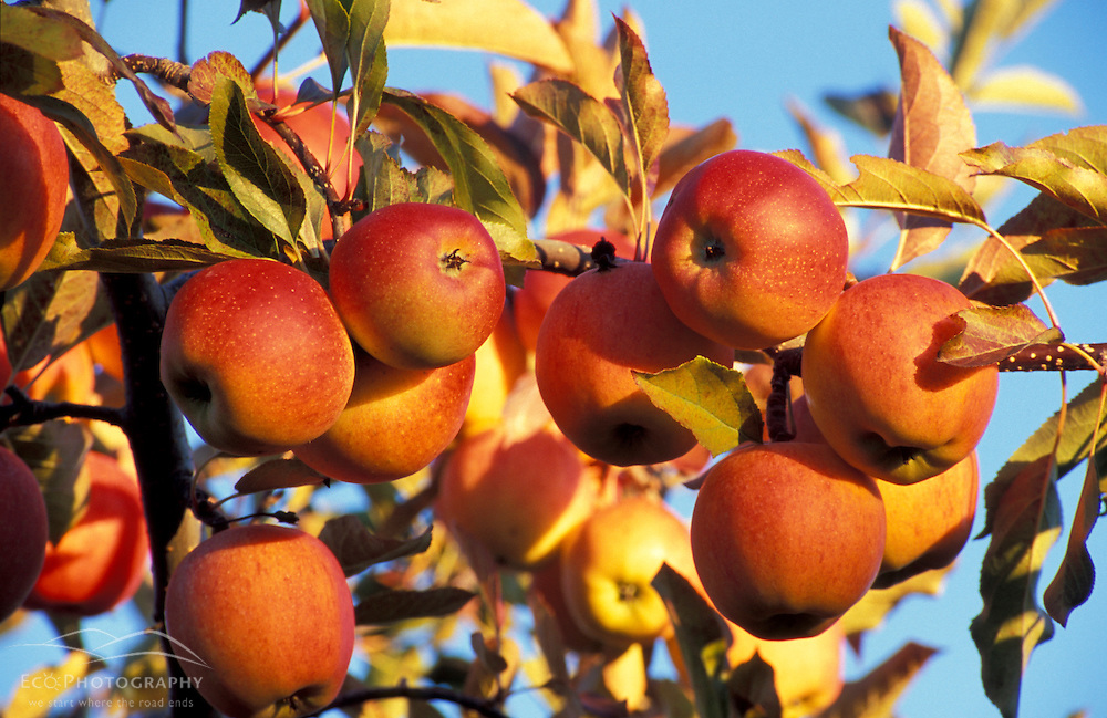 Bolton, MA.  USA.  Gala apples growing at the Nicewicz Farm in Massachusetts' Nashoba Valley. Apple orchard.