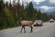 A large bull elk crosses the highway in Banff National Park, Alberta, CA