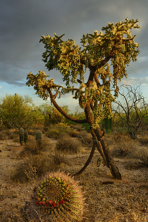 At the Maeveen Behan Desert Sanctuary live they two magnificent cacti. The tall one is a chain fruit cholla and the small one in the foreground is a barrel cactus just starting to blossom
