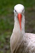 Avifauna, Europa's grootse vogelpark. / Avifauna - the largest bird sanctuary in Europe Op de foto / On the photo: Wilde Nederlandse Ooivaar (Ciconia circonia ) / White Stork