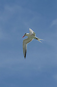 Royal Tern (Thalasseus maximus)<br /> BONAIRE, Netherlands Antilles, Caribbean<br /> HABITAT & DISTRIBUTION:<br /> Shorelines of Atlantic and Pacific coasts of the southern USA and Mexico into the Caribbean.