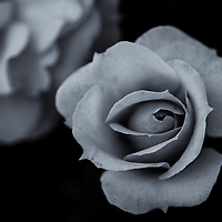 """""""Enter the Darkness""""<br /> <br /> Exploring darkness and light with a rose bud!"""