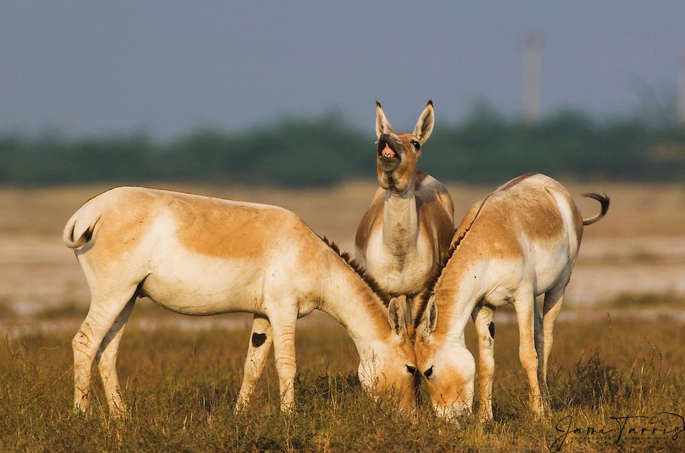 Indian wild asses ( Asinus hemionus khur ) displaying vocalization and communicating, Little Rann of Kutch, Gujarat, India
