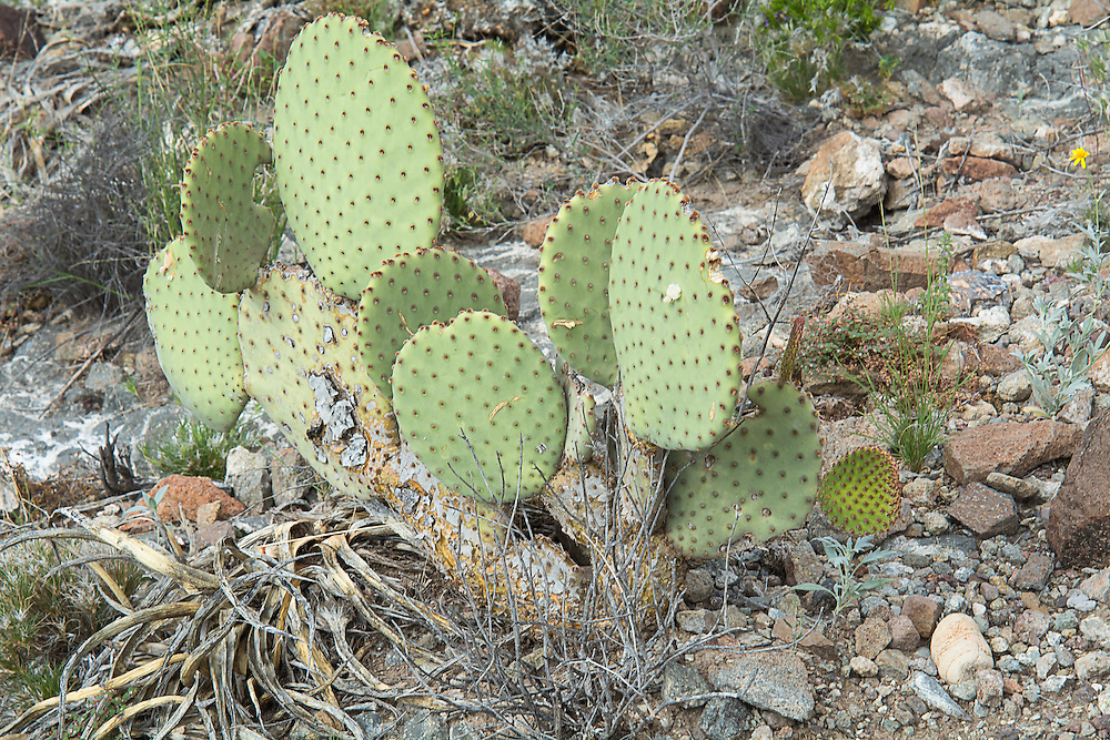 Common in lower elevations of western/southwestern Texas and much of Mexico's Chihuahuan Desert, this is the only native prickly pear in the region without long spines. Instead, brown hair-like glochids grow in the areoles, which if touched, can be quite painful and difficult to remove. This one was  photographed just north and below the Chisos Mountains in Big Bend National Park in Brewster County, Texas.