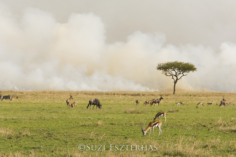 Thomson's Gazelle<br /> Gazella thomsonii<br /> Near grass fire<br /> Masai Mara Triangle, Kenya