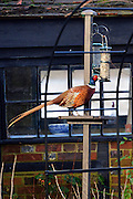 © Licensed to London News Pictures. 03/01/2014. Godalming, UK. A pheasant uses a bird feeder after nearby fields are submerged by floodwater. Flooding in Godalming. River Wey bursting it's banks in Surrey today 3rd January 2013. Floods an heavy rain are continuing to effect travel and people across the country today. Photo credit : Stephen Simpson/LNP