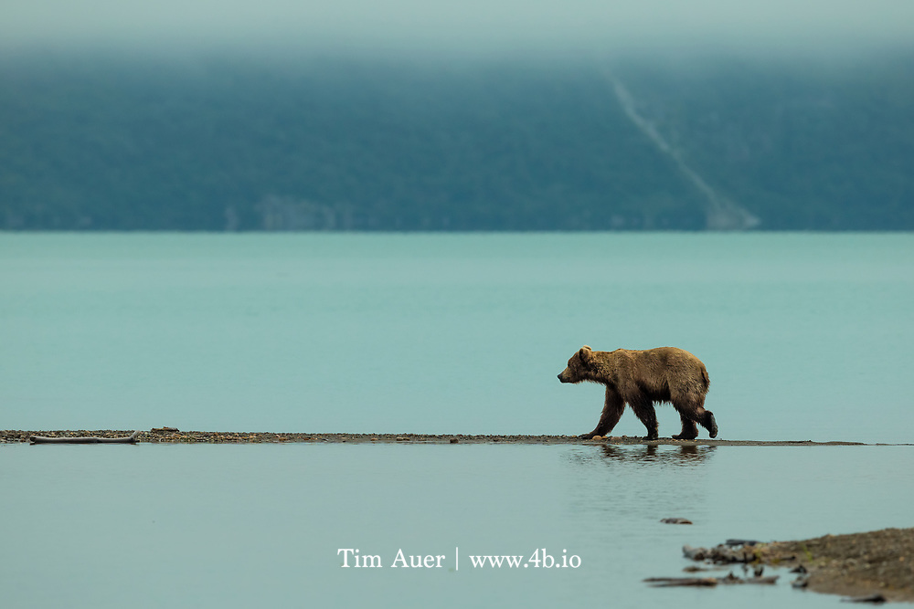 Relegating grizzlies to Alaska is about like regulating happiness to heaven; one may never get there. ///   Alaskan Brown Bear walks along a gravel bar at the mouth of Margot Creek in Katmai National Park. This is early in the morning and the fog hasn't completely burned off yet, and can be seen lingering on the mountains in the background across the silty green Naknek Lake.